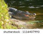 alligator on the shore of the... | Shutterstock . vector #1116407993