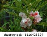 impatiens balsamina fruiting ... | Shutterstock . vector #1116428324