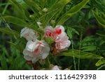 impatiens balsamina fruiting ... | Shutterstock . vector #1116429398