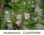 impatiens balsamina fruiting ... | Shutterstock . vector #1116429404