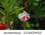 impatiens balsamina fruiting ... | Shutterstock . vector #1116429410