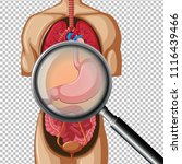 a human stomach on transparent... | Shutterstock .eps vector #1116439466
