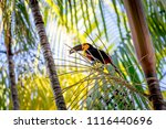 wild ariel toucan with  picked... | Shutterstock . vector #1116440696
