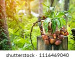 insectivorous plant ... | Shutterstock . vector #1116469040