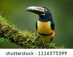toucan collared aracari ... | Shutterstock . vector #1116575399