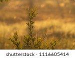 midsummer morning sunrise in... | Shutterstock . vector #1116605414