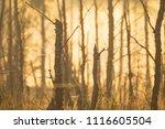midsummer morning sunrise in... | Shutterstock . vector #1116605504