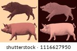 wild boar and domestic pig.... | Shutterstock .eps vector #1116627950