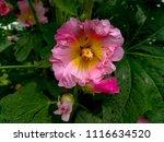 flowering of pink mallow | Shutterstock . vector #1116634520