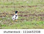 single shelduck standing a a... | Shutterstock . vector #1116652538