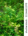 summer forest in the sun. birch ... | Shutterstock . vector #1116661193