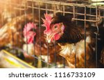eggs chickens  hens in cages... | Shutterstock . vector #1116733109