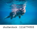 amazing dugong taking a breath... | Shutterstock . vector #1116774503