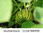 home grown organic pumpkin on... | Shutterstock . vector #1116788900