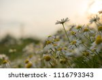 beautiful daisy flower in the... | Shutterstock . vector #1116793343