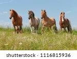 four icelandic horses standing... | Shutterstock . vector #1116815936