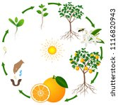 a life cycle of an orange tree... | Shutterstock .eps vector #1116820943