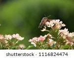 bee hawk moth side view... | Shutterstock . vector #1116824474