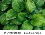 Decorative Garden Plant Hosta....