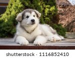 Stock photo alaskan malamute puppy posing outside small malamute in kennel 1116852410