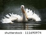 White Pelican Splashing About...