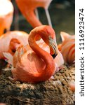 caribbean flamingo sits on her... | Shutterstock . vector #1116923474