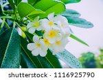 frangipani flower wet rain ... | Shutterstock . vector #1116925790