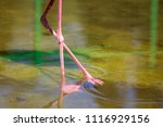 legs of pink flamingos in the... | Shutterstock . vector #1116929156