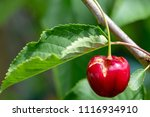 ripe damaged red cherry hanging ... | Shutterstock . vector #1116934910