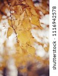 the branches of the birch in... | Shutterstock . vector #1116942578