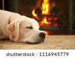 a yellow labrador retriever... | Shutterstock . vector #1116945779
