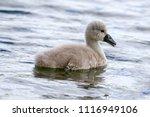 Beautiful Young Mute Swan...