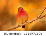 Red billed firefinch ...
