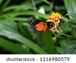 Tiger Longwing  Heliconius...