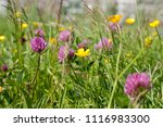 Buttercups And Red Clover In A...