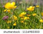 Yellow Buttercups In A Meadow