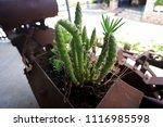 cactus pereskiopsis subulata | Shutterstock . vector #1116985598