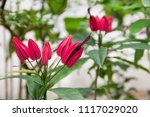 image of pavonia multiflora in... | Shutterstock . vector #1117029020