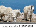 Mountain Goats In Colorado