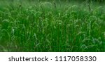 High Flowering Grass In The...