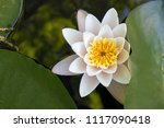 the nymphaea virginalis in the... | Shutterstock . vector #1117090418