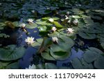 the nymphaea virginalis in the... | Shutterstock . vector #1117090424