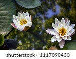 the nymphaea virginalis in the... | Shutterstock . vector #1117090430