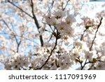 spring cherry blossom | Shutterstock . vector #1117091969