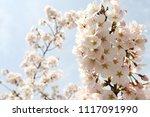 spring cherry blossom | Shutterstock . vector #1117091990