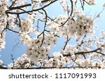spring cherry blossom | Shutterstock . vector #1117091993