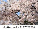spring cherry blossom | Shutterstock . vector #1117091996