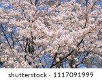 spring cherry blossom | Shutterstock . vector #1117091999