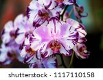moth orchids flowers or... | Shutterstock . vector #1117110158