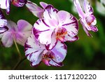 moth orchids flowers or... | Shutterstock . vector #1117120220